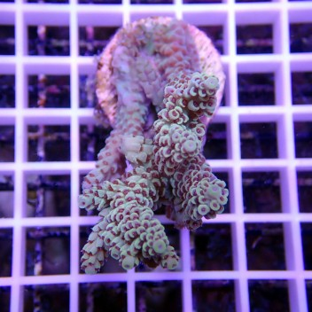Acropora sp blue acro407