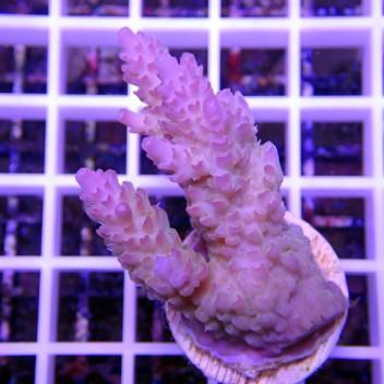 Acropora anthocercis acro412