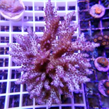 Acropora sp acro415