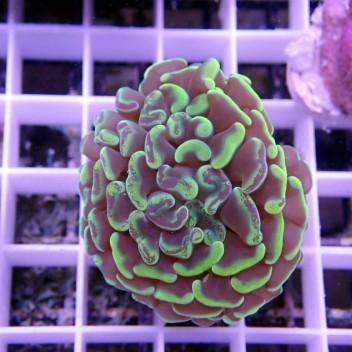 Euphyllia parancora bicolor euphy663