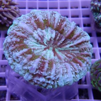 Acanthophyllia deshayesiana acantho31