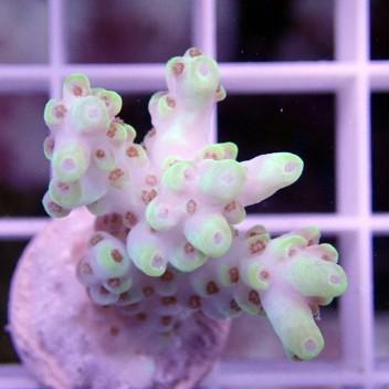 Acropora tenuis or acro536