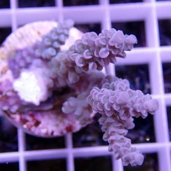 Acropora tenuis acro571
