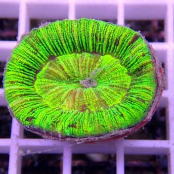 Trachyphyllia bleu trachy87