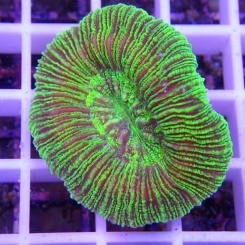 Trachyphyllia vert trachy88