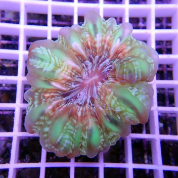 Cynarina lacrymalis cyna44