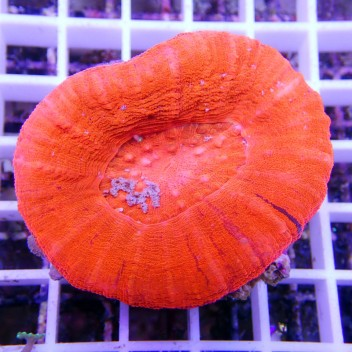 Homophyllia australis rouge Scolymia australis scoly72