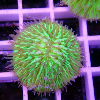 Fungia vert Fungia80