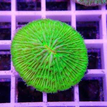 Fungia vert Fungia82