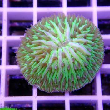 Fungia vert Fungia83