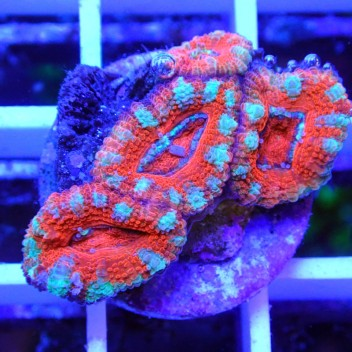 Acanthastrea lordhowensis AL1158