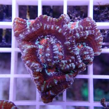 Australophyllia wilsoni coupé wilsoni39