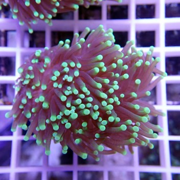 Euphyllia glabrescens vert euphy649