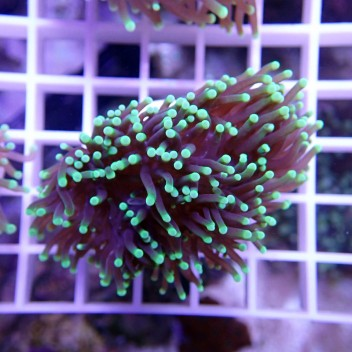 Euphyllia glabrescens vert euphy650