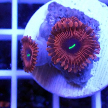 Zoanthus red people eater Z065