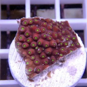 Cyphastrea orange