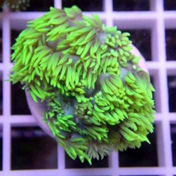 Goniopora rouge gonio56