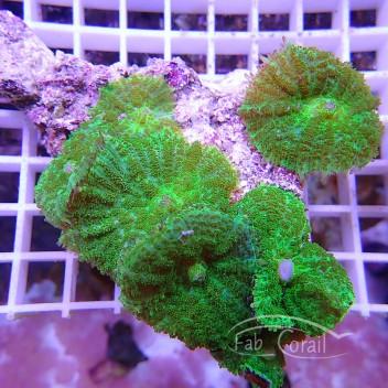 Rhodacthis vert disco105