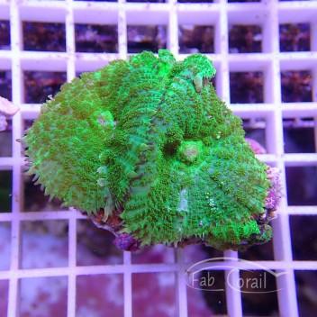 Rhodacthis vert disco107