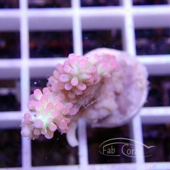 Acropora microclados strawberry shortcake acro565