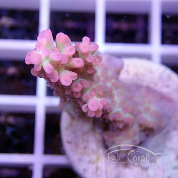 Acropora microclados strawberry shortcake acro607