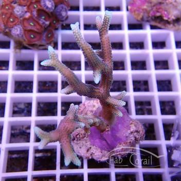 Seriatopora hystrix bicolor rose vert rare SH237