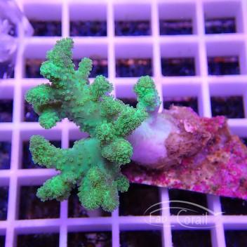 Sinularia flexibilis vert fluo australie sinu72