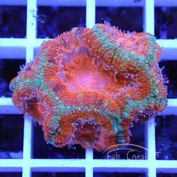 Acanthastrea lordhowensis AL1160