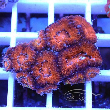 Acanthastrea lordhowensis AL1161