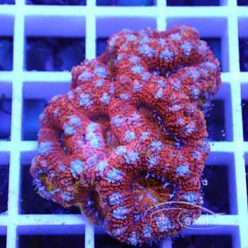 Acanthastrea lordhowensis AL1167