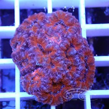 Acanthastrea lordhowensis AL1176
