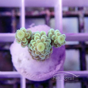 Acropora tenuis acro616
