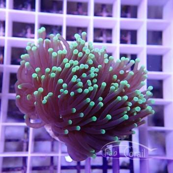 Euphyllia glabrescens vert euphy652