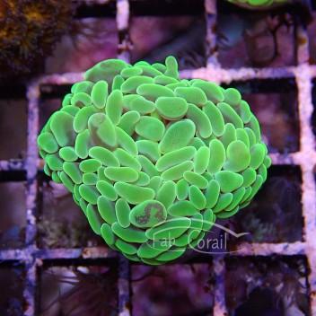 Euphyllia parancora euphy685