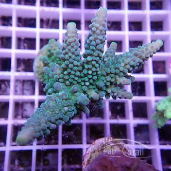 Acropora anthocercis acro652