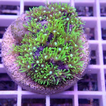Pachyclavularia vert fluo pachy63