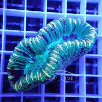Trachyphyllia trachy92