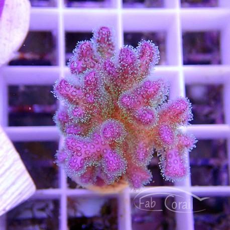 Pocillopora rose vert pocillo118