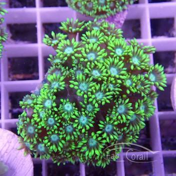 Goniopora vert gonio65