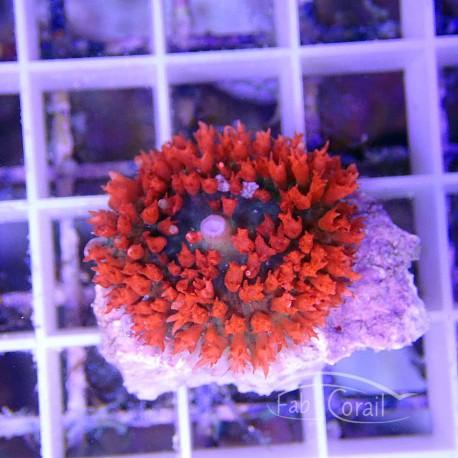 Rhodacthis osculifera rouge saint-thomas14 RARE