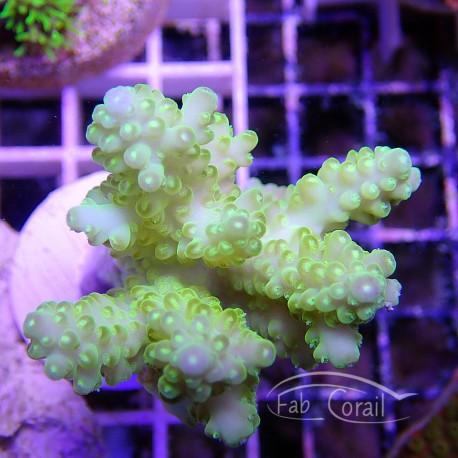 Acropora sp jaune acro798