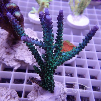 Acropora parilis bleue souche indo acro819