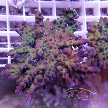 Acropora tortuosa souche indo acro820