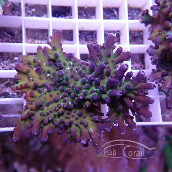 Acropora tortuosa souche indo acro821