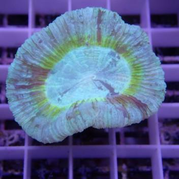 Trachyphyllia trachy98