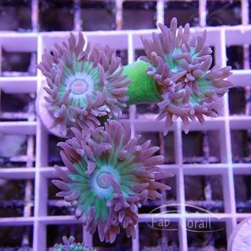 Duncanopsammia axifuga dunca71