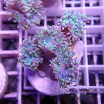Duncanopsammia axifuga dunca72