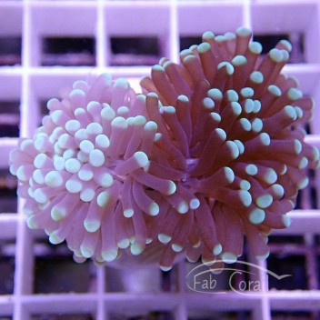 Euphyllia glabrescens euphy719