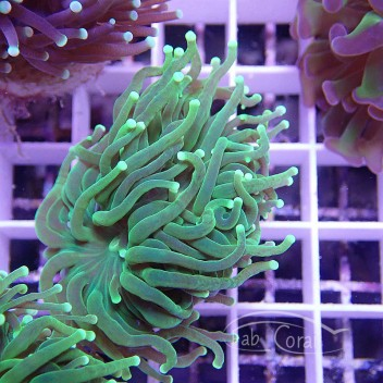 Euphyllia glabrescens euphy736