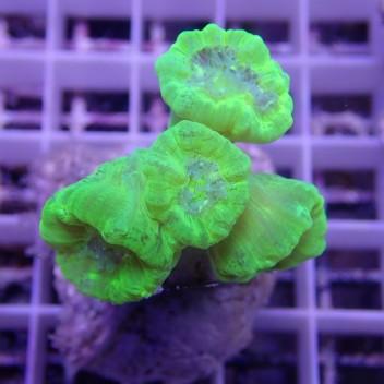 Caulastrea vert fluo caula157